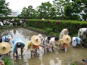Rice planting -Roppongi Hills Rooftop Garden -