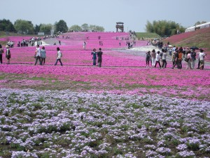 moss phlox park in Ichikai city