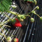 Tochiotome is a popuplar Tochigi strawberry.