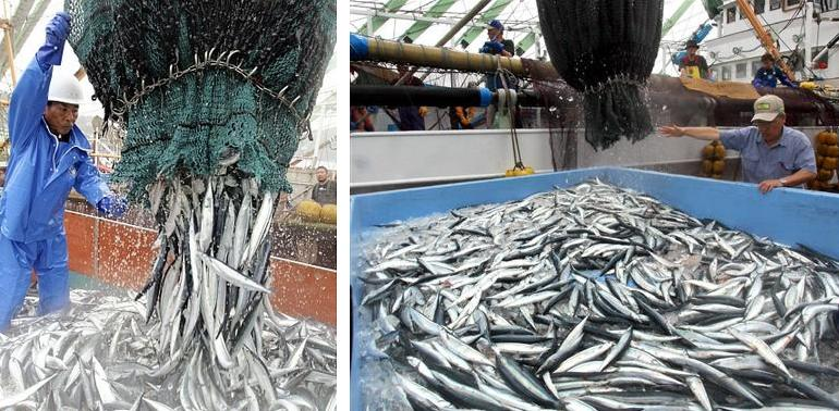 Pacific saury this year put on fat well tenkai japan for Pacific fish market